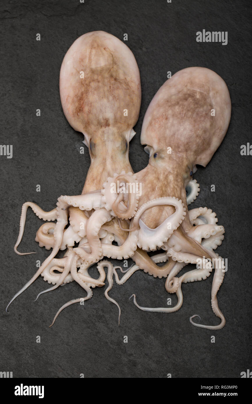 Two raw lesser, or curled octopi, Eledone cirrhosa, caught in UK waters and bought from a supermarket in the UK. The lesser octopus can be identifed b - Stock Image