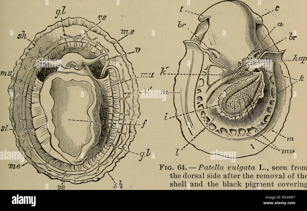 breathing organs in prosobranchiata 157 which included patella and chiton^  has no value, and has indeed long been discarded  in cliiton the gills  never