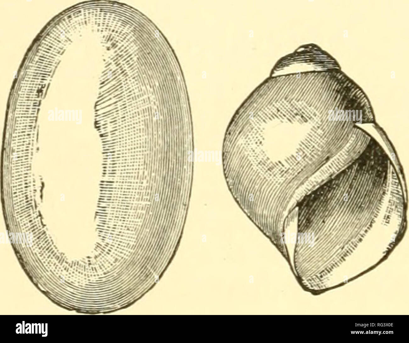 . The Cambridge natural history. Zoology; Zoologia Geral. 124 ^^^^ ^^ LAND PULMONATA chap. of Helix aspersa have been noticed, in which the number of eggs varied from about 40 to 100. They are laid in little cup-shaped hollows at the roots of grass, with a little loose earth spread over them. The eggs of Testacella are rather large, and very elastic; if dropped on a stone floor they will rebound sharply several inches. The CocJilostyla of the Philippines lay their eggs at the tops of the great forest trees, folding a leaf together to serve as a protection. The eggs of the great tropical Bulimu - Stock Image