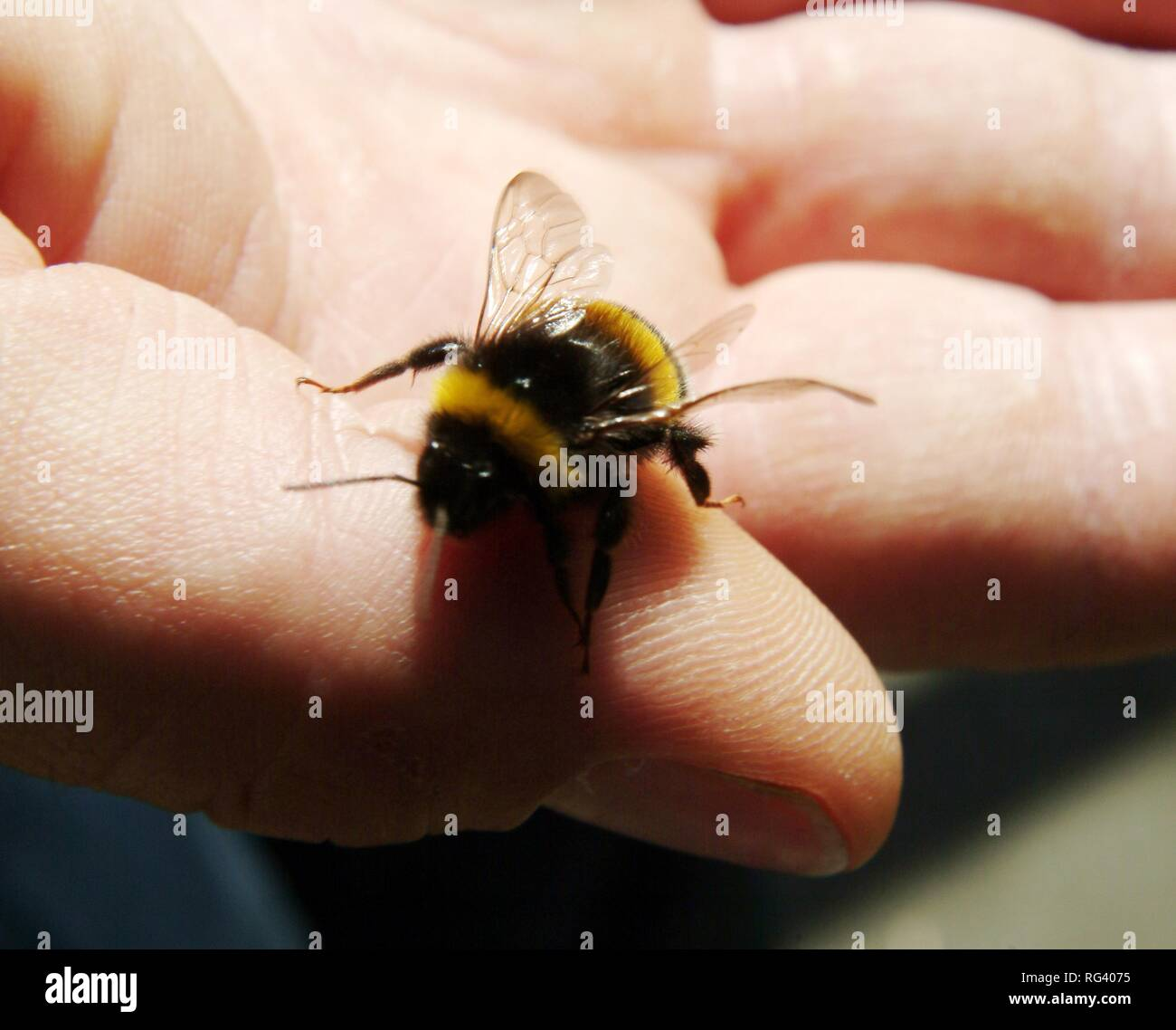 DEU, Federal Republic of Germany, Frankfurt/Main: Special insect task force of Frankfurt fire service. They remove an resattle - Stock Image