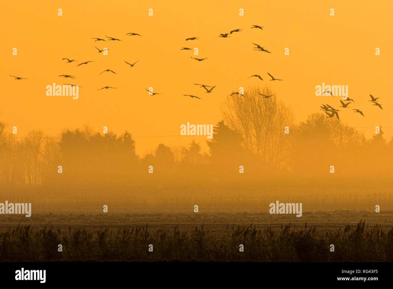 Flock of Common Crane (Grus grus) flying into fields in the Fens at dawn, Cambridgeshire, England Stock Photo