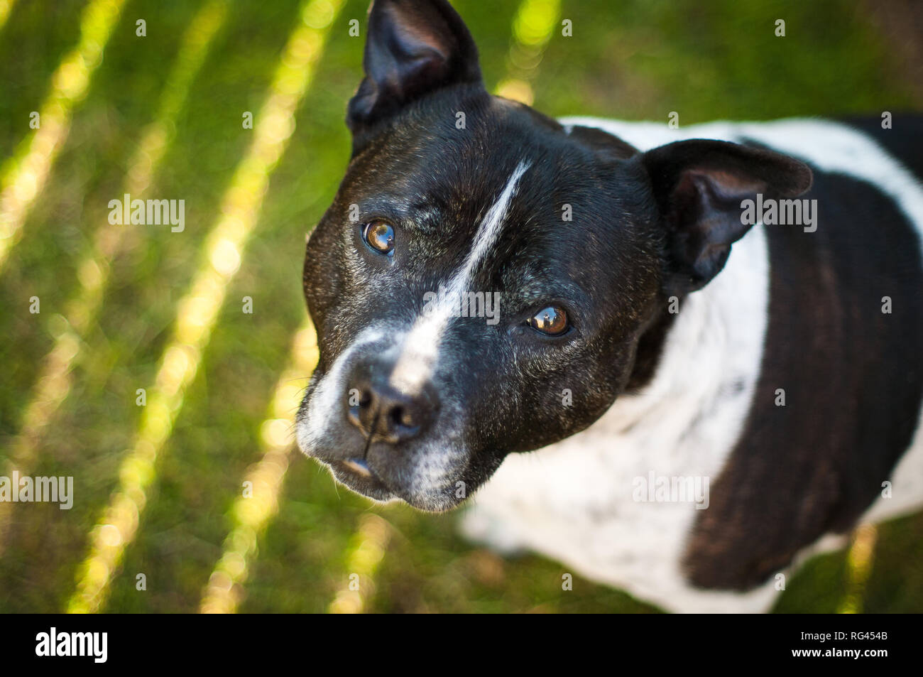 Staffordshire bull terrier with direct eye contact - Stock Image