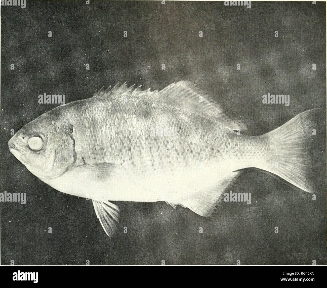 Medialuna Fish
