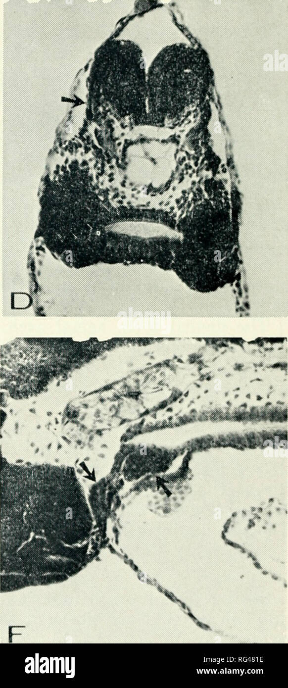 . California fish and game. Fisheries -- California; Game and game-birds -- California; Fishes -- California; Animal Population Groups; Pêches; Gibier; Poissons. FIGURE 2—A, transverse section, 10 somites; the midgut region in which the ventral layer of cells Is oriented at a right angle to the dorsal layer; B, sagittal section, 15 somites; the yolk is still very prominent; a gut I'jmen is now present; the heart tube is beginning to form and a group of primitive gonadal cells can be seen caudally (arrow); C, sagittal section, 2.5 mm; the yolk is clearly shown in the dorsal region of the sinus  - Stock Image