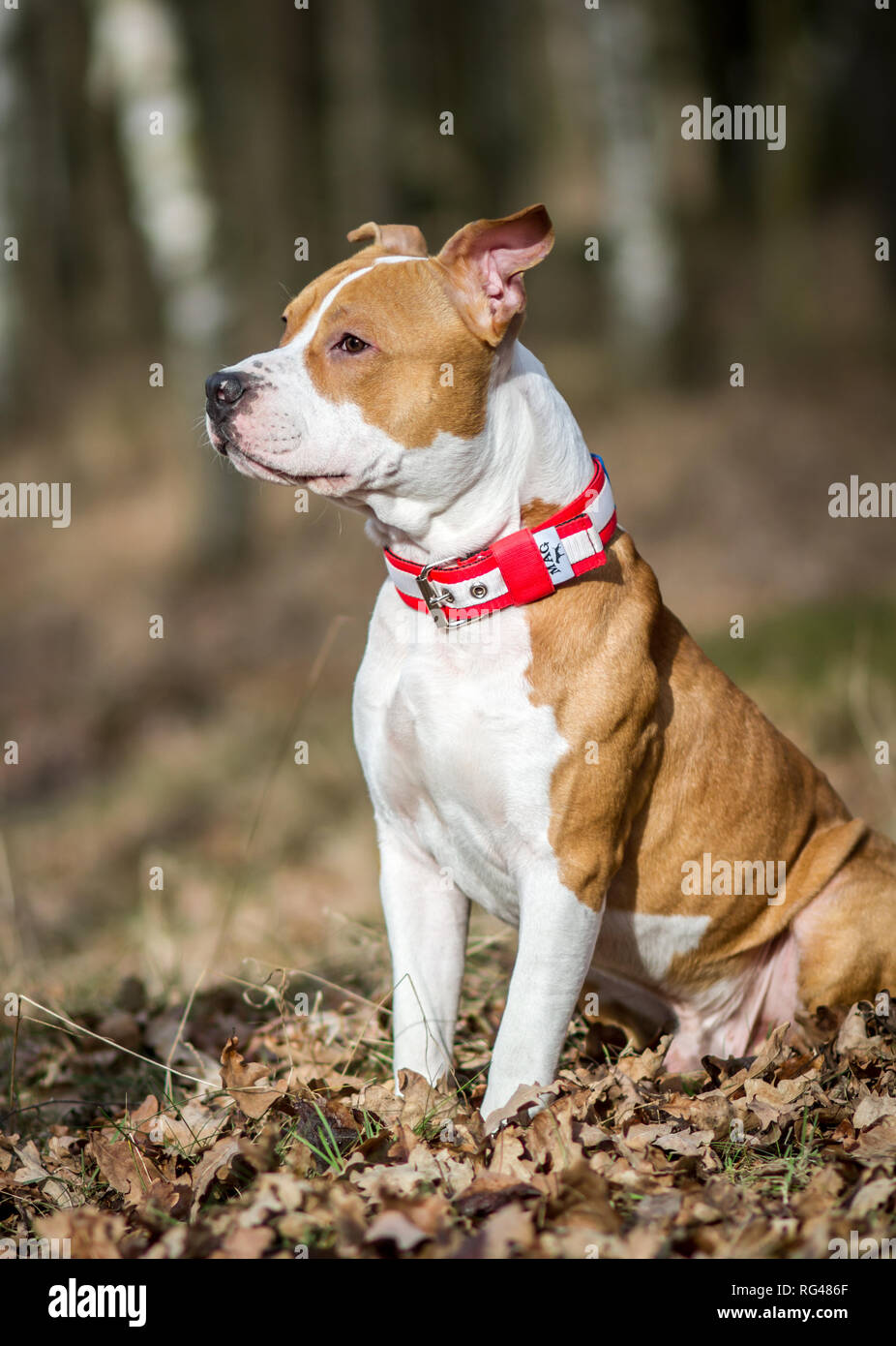 Young male American Staffordshire Terrier - Stock Image
