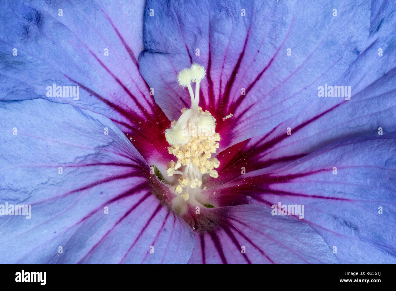 Floral color macro image of the inner of a a single isolated wide open blue violet red hibiscus blossom with detailed texture - Stock Image