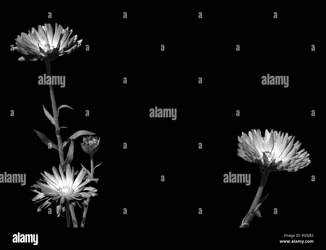 Black and white photo of three plants and their stems, with beautiful fluorescent flowers - Stock Image