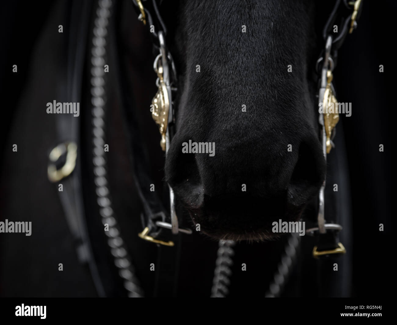 The soft muzzle of the queens horse at the Royal horse guards palace Stock Photo