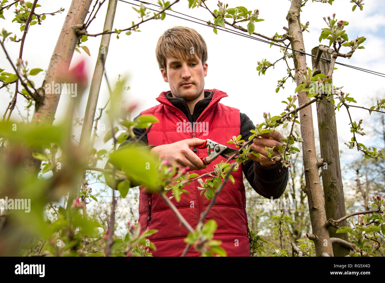Apprentice in orchard prunes apple trees, Schumacher orchard, Auszubildender im Obstbau beschneidet ApfelbŠume, Obstbaubetrieb Schumacher Stock Photo