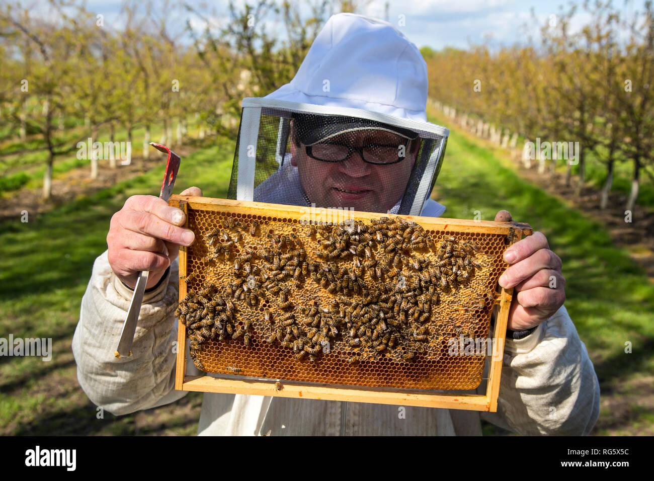 beekeeper controls honey bees, honeycomb, beehive, fruit cultivation, Imker kontrolliert Honigbienen, Honigwabe, Bienenstock, Obstanbau Stock Photo