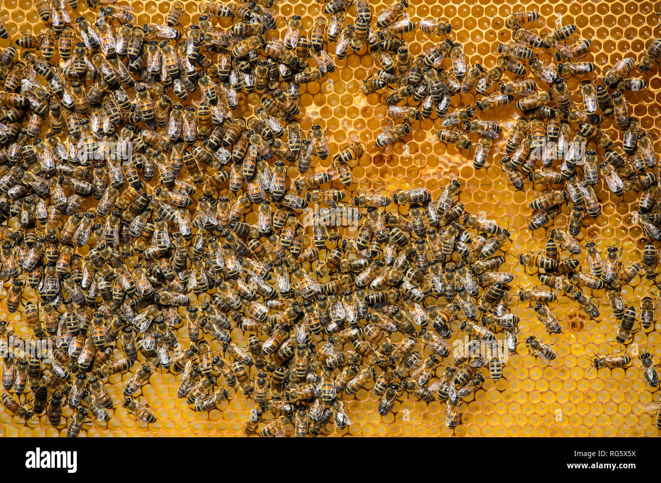 honey bees, honeycomb, beehive, Honigbienen, Honigwabe, Bienenstock Stock Photo