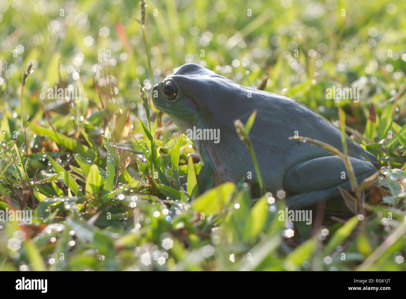 Australian Green Tree Frog sitting on wet grass, Indonesia Stock Photo