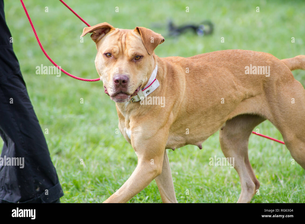 Red American Pit Bull Terrier on collar and leash during a dog event - Stock Image