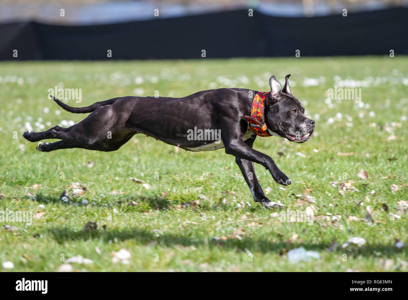 Young black American Pit Bull Terrier running the lure race on a dog sport event - Stock Image