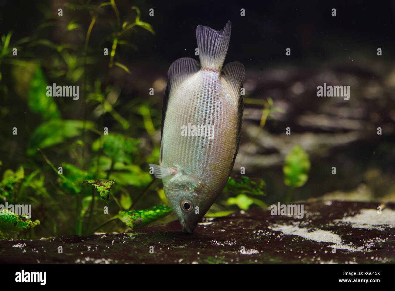 Kissing gourami (Helostoma temminckii), also known as the kissing fish. Stock Photo
