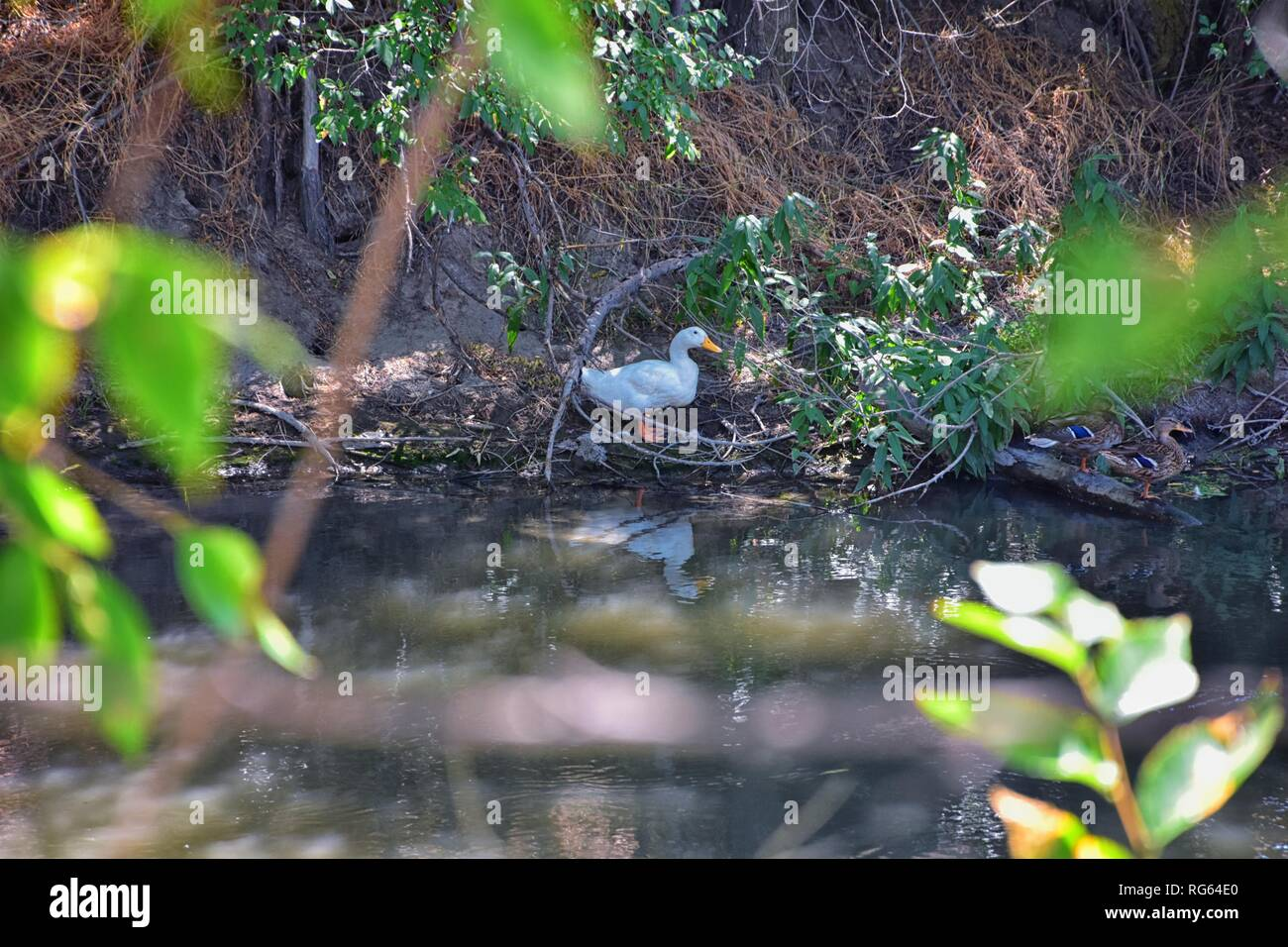 Ducks (Anatidae) swimming and resting in the water and banks of the Jordan River Trail with surrounding trees, Russian Olive, cottonwood and muddy str - Stock Image