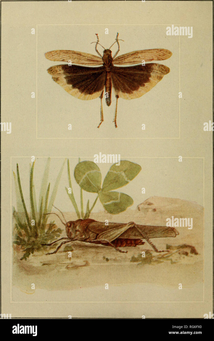 . Butterflies worth knowing. Butterflies. See page ou THE CAROLINA LOCUST Above, with vinf>;s expanded as in flight. Please note that these images are extracted from scanned page images that may have been digitally enhanced for readability - coloration and appearance of these illustrations may not perfectly resemble the original work.. Weed, Clarence Moores, 1864-1947. [Garden City, N. Y. ] Pub. by Doubleday, Page & Company for Nelson Doubleday - Stock Image