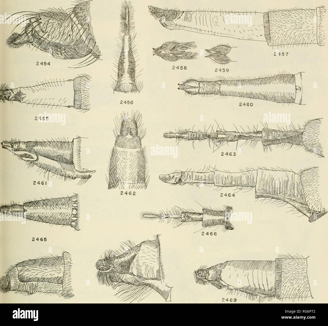 . Bulletin - United States National Museum. Science. ROBBER FLIES OF THE WORLD 807. 2467 2466 Figures 2454-2469.—Females. 2454, Cratopoda gayi Macquart. 2455, Cratolestes spectabilis Phi- lippi. 2456, Senoprosopis tenuis Wiedemann, type. 2457, Apotinocerus brevistylatus Wulp, 2458, Apotinocerus brevistylatus Wulp, dorsal apex. 2459, Apotinocerus brevistylatus Wulp, ventral apex. 2460, Apotinocerus brevistylatus Wulp, dorsal aspect. 2461, Asilus crabroniformis Linne. 2462, Glaphyropyga himantocera Wiedemann. 2463, Nyssomyia ochracea, new species. 2464, Nyssomyia ochracea, new species. 2465, Asi - Stock Image