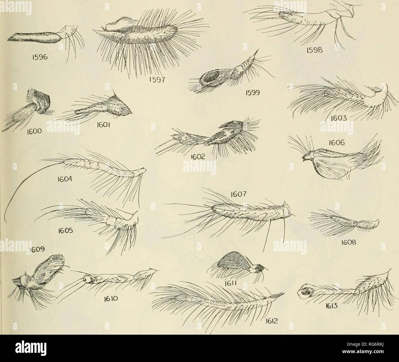 . Bulletin - United States National Museum. Science. ROBBER FLIES OF THE WORLD 747. Figures 1596-1613.—1596, Cryptopogon vernaculus White. 1597, Ctenota molitrix Loew. 1598, Lag- odias laticornis Loew. 1599, Chrysopogon sp. 1600, Cyanonedys sp. 1601, Cyanonedys lugubris Hermann. 1602, Acrochordomerus aeneiis Her- mann. 1603, Pararatus macrostylus Loew. 1604, Lecania genitalis Bromley. 1605, Dysclytus firma- tus Walker. 1606, Systropalpus aurivulpes, new species. 1607, Enigmomorpheus paradoxus Her- mann. 1608, Dassylina fulvithorax Bromley, 1609, Hyperechia sp. 1610, Smeringolaphria sp. 1611, B - Stock Image