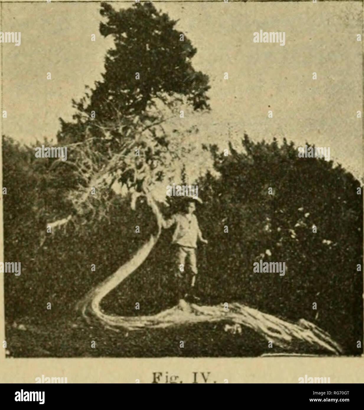 . Bullettino. Botany -- Periodicals. SEDK DI FIRENZE - ADUNANZA DEL 10 NOVEMBRE 383 un'idea, basta percorrere quel tratto dell'antica strada del lit- torale, che domina le scogliere marine a Sud di Livorno, subito dopo il villaggio di Antignano. Ivi si rimane colpiti dal porta- mento di alcuni vetusti esemplari della specie sovraccennata. Essi non hanno, come i Pinus, il fusto semplice- mente inclinato (ciò che mette spesso in pericolo la pianta di essere sradi- cata al primo colpo di ven- to un po' impetuoso), ma fortemente inflesso alla ba- se, e ritorto, in modo da venire a toccare in uno o - Stock Image