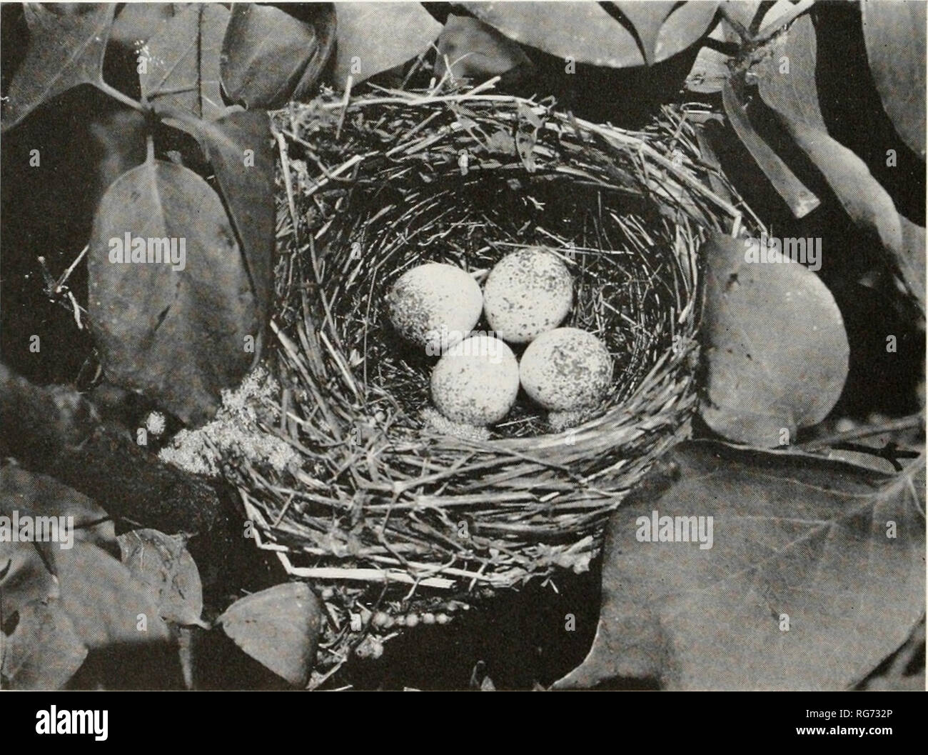 . Bulletin - United States National Museum. Science. Shasta County, Calif., June 22, 1944 Nest of Lazuli Bunting J. E. Patterson. Cowley County, Kans. W. Colvin Nest of Eastern painted bunting. Please note that these images are extracted from scanned page images that may have been digitally enhanced for readability - coloration and appearance of these illustrations may not perfectly resemble the original work.. United States National Museum; Smithsonian Institution; United States. Dept. of the Interior. Washington : Smithsonian Institution Press, [etc. ]; for sale by the Supt. of Docs. , U. S. - Stock Image