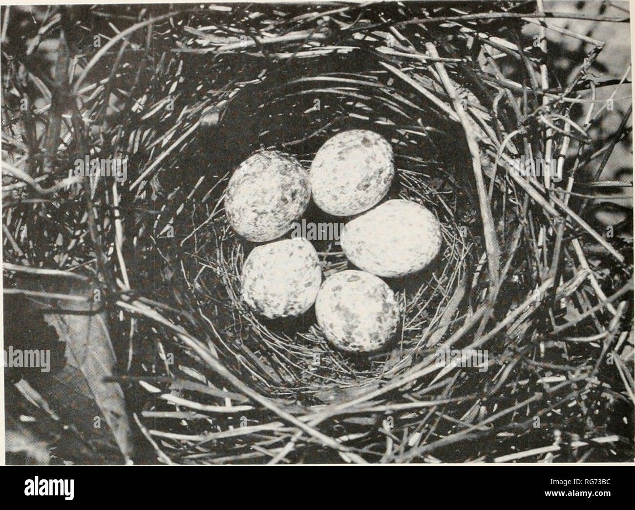 . Bulletin - United States National Museum. Science. U.S. NATIONAL MUSEUM BULLETIN 237 PLATE 2. Cowley County, Kans., July 7, 192',-' Nest of Eastern Cardinal W . Colvin. Please note that these images are extracted from scanned page images that may have been digitally enhanced for readability - coloration and appearance of these illustrations may not perfectly resemble the original work.. United States National Museum; Smithsonian Institution; United States. Dept. of the Interior. Washington : Smithsonian Institution Press, [etc. ]; for sale by the Supt. of Docs. , U. S. Govt Print. Off. - Stock Image