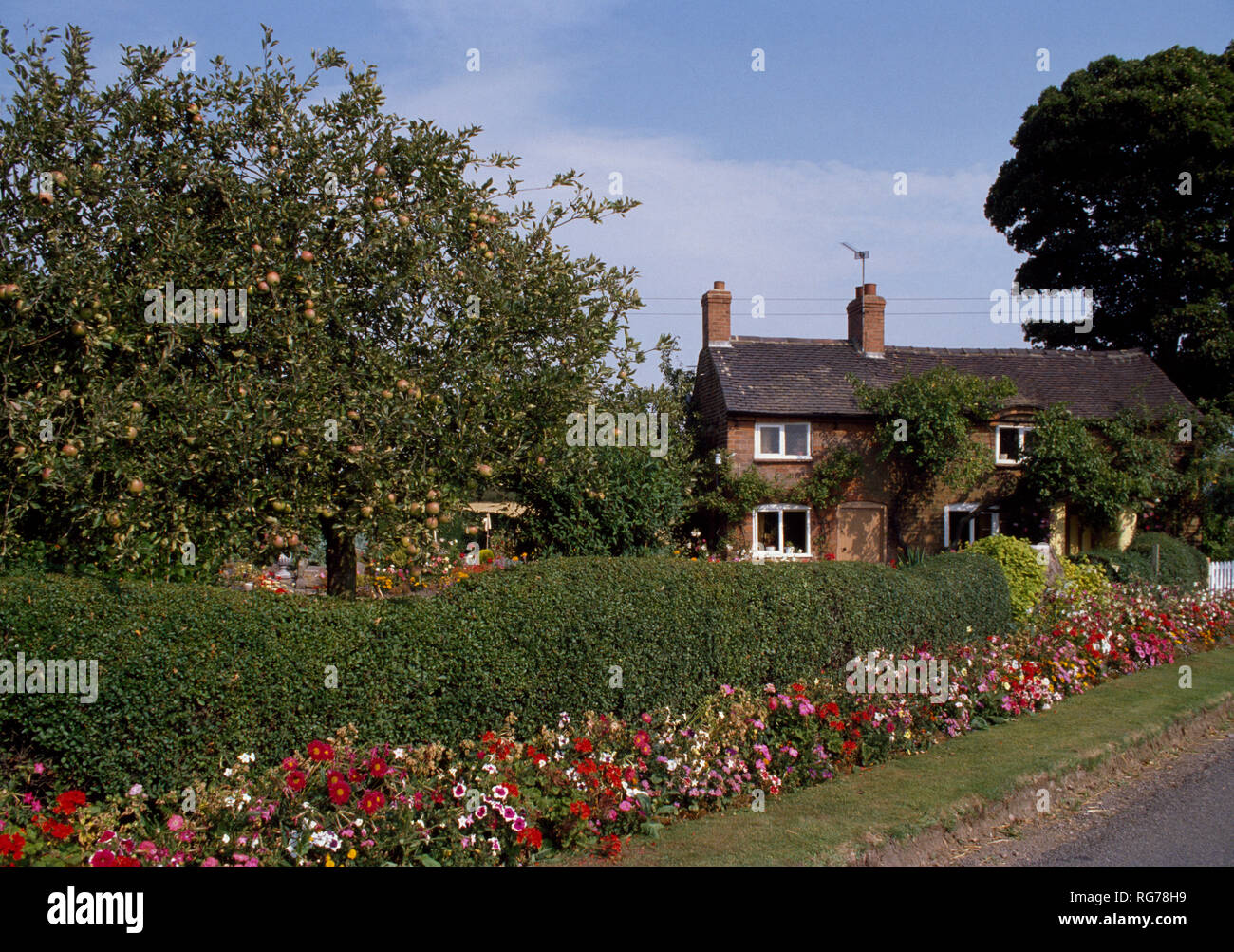 Colourful annuals against hedge with small house in background - Stock Image