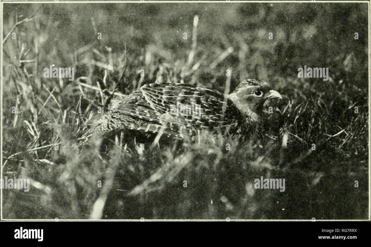 Hungarian Partridge Stock Photos & Hungarian Partridge Stock