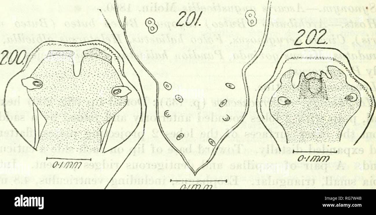 . Bulletin - United States National Museum. Science. 138 BULLETIN 140, UNITED STATES NATIONAL MUSEUM Hosts.—Accipiter bicolor, A. nisus, Aquila albicilla, A. chrysaetos, A. fasciata, A. imperialis, A. naevia, A. pennata, Archibuteo lagopus, A. vulgaris, Astur palumbarius, Bubo -maximus, B. virginmnus, Cir- caetus gallicus, Gircestus pectoralis, Circus aeruginosus, C. cinera- ceus, G. cyaneus, G. rufus, Falco aesalon, F. albicilla, F. apivorus, F. ater, F. brachy dactyl us, F. brasiliensis, F. buteo, F. chrysaetos, F. cyaneus. F. degener, F. gallicus, F. imperialism F. lithofalco, F. lanarius,  - Stock Image