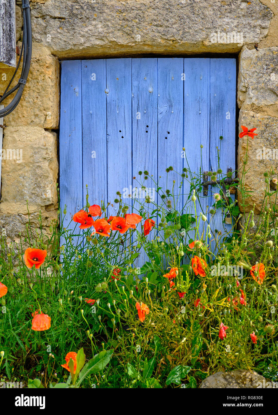 French blue small trap door behind while growing poppies.  Texture rock walls frame the door - Stock Image
