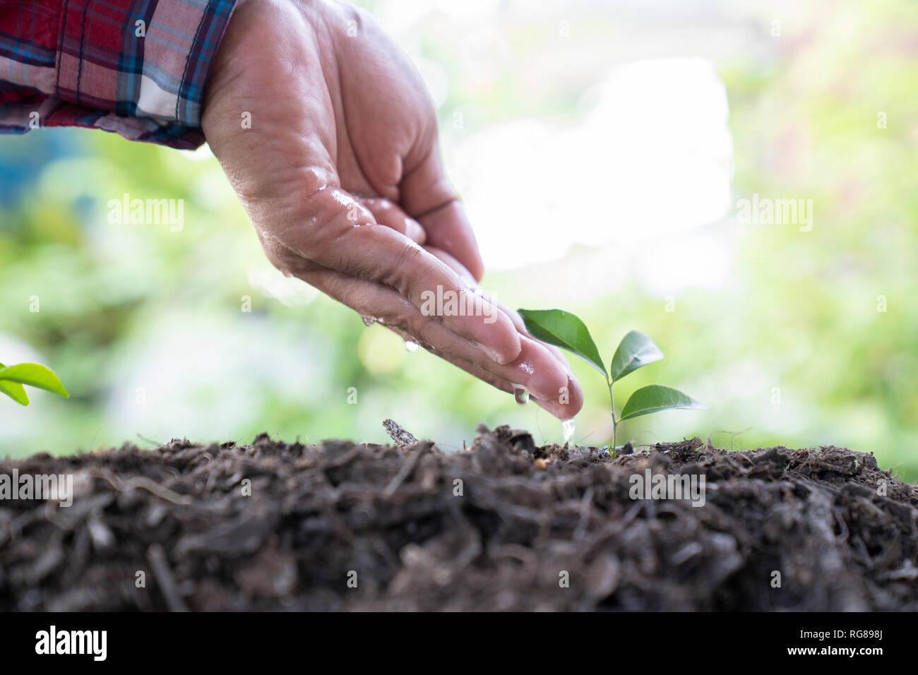 Man hand watering a young plant - Image - Stock Image