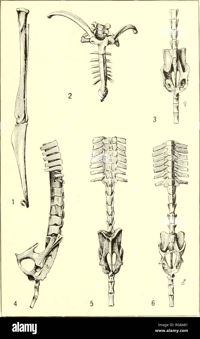 . Bulletin - United States National Museum. Science. U. S. NATIONAL MUSEUM BULLETIN NO. 57 PL. XIII. Shoulder Girdle, Pelves, and Leg Bones of Noctilio. For explanation of plate see page XV.. Please note that these images are extracted from scanned page images that may have been digitally enhanced for readability - coloration and appearance of these illustrations may not perfectly resemble the original work.. United States National Museum; Smithsonian Institution; United States. Dept. of the Interior. Washington : Smithsonian Institution Press, [etc. ]; for sale by the Supt. of Docs. , U. S. G - Stock Image