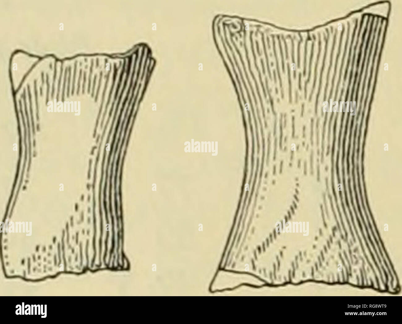 . Bulletin - United States National Museum. Science. 42 UNITED STATES NATIONAL MUSEUM BULLETIN 247. d a 0 c Figure 27.—Views of phalanges, USNM 11976, of Pelocetus cahertensis: a and b, small phalanges; c, medium size phalange; d, large phalange. Sternum One or more of four bones (pi. 20) not otherwise identi- fied with some part of the skeleton may possibly represent the sternum. These bones do not, however, agree with the sternum of living mysticetes, which in some species consists of a broad flattened presternum extended back- ward into a ziphoid process. In these Recent whalebone whales th - Stock Image