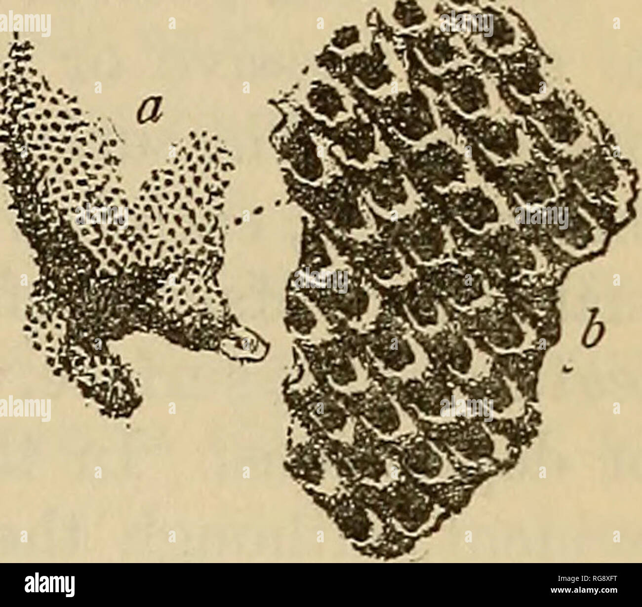 """. Bulletin - United States National Museum. Science. EARLY PALEOZOIC BEYOZOA OF THE BALTIC PROVINCES, 85 C(ELOCLEMA LACINIATUS (Eichwald). Text fig. 25. Ccenites laciniatus Eichwald, Letheea Rossica, vol. 1, 1860, p. 459, pi. 27, fig. 9. Eichwald has given two figures, here reproduced, of a ceramopo- roid bryozoan from the ''calcaire a schiste argileux inflammable,"""" wliich I have little hesitancy in identifying as a species of CcdodeTna occurring in the Kuckers shale. His description cites the type-speci- men as an incrusting lamella with the surface irregularly undulating. The specimens  Stock Photo"""