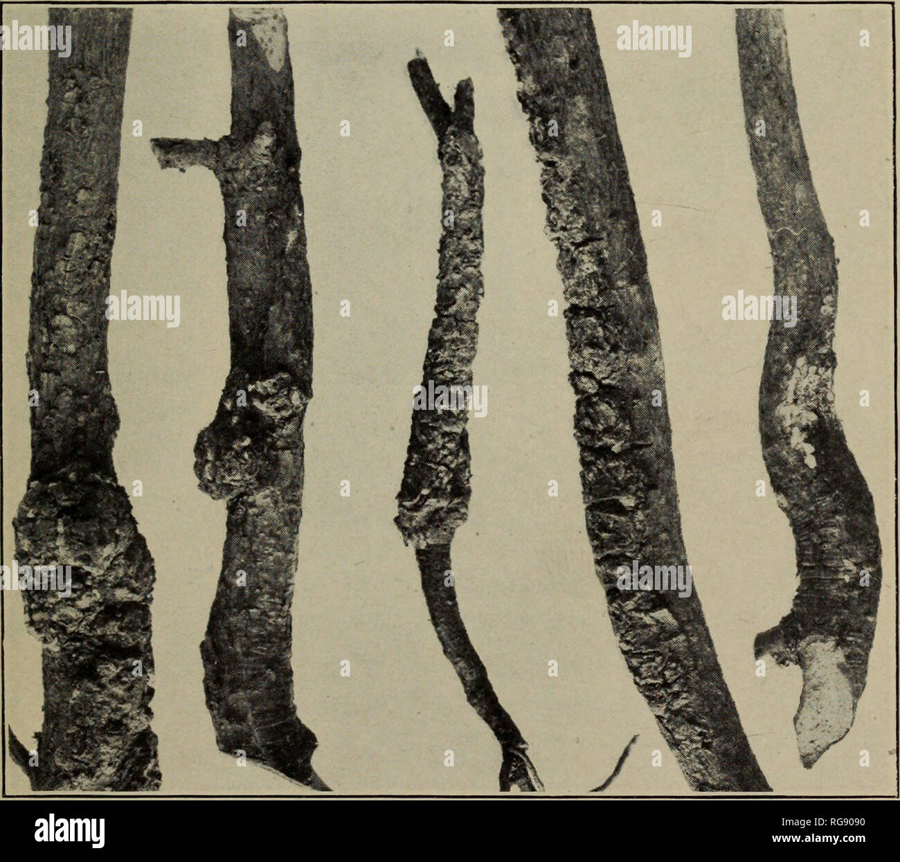 . [Bulletins on forest pathology : from Bulletin U.S.D.A., Washington, D.C., 1913-1925]. Trees; Plant diseases. Fig. 1.—A 6-Year-0ld Jack Pine In- fected WITH PERIDERMIUM CEREBRUM. The complete girdling of the main stem by two oppositely arranged galls is shown. Note the wedge-shaped gall tissues. Fiq. 2.—Four-Year-Old Seedlings of Jack Pine, Showing the Char- acteristic Swellings of Perider- mium Cerebrum. The entire crown of the seedlings develops into spherical brooms.. Fig. 3.—Various Types of Infection of Young Jack Pine by Peri- dermium comptoniae. Note that in the central figure the fun - Stock Image