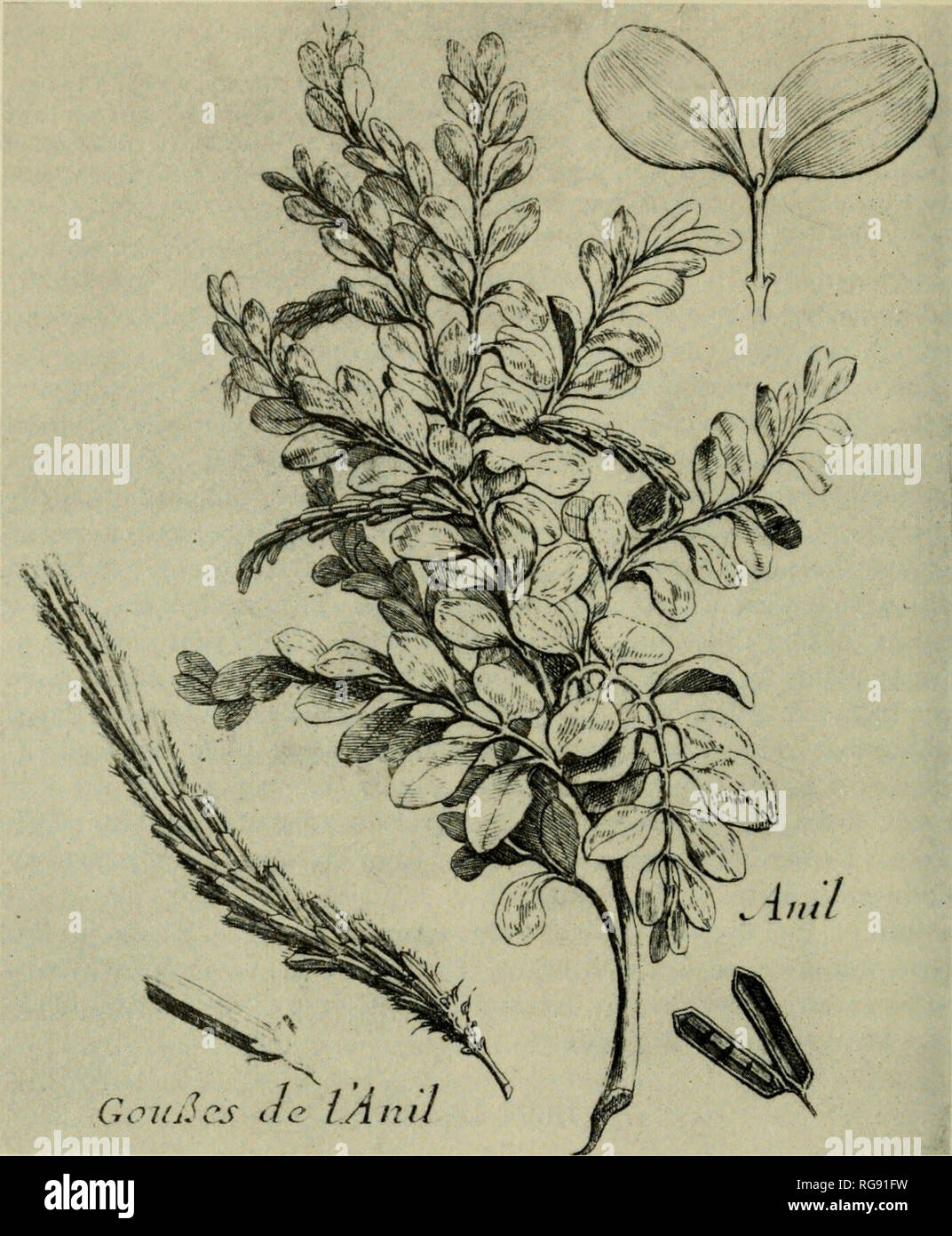 """. Bulletin - United States National Museum. Science. Figure 4.—Indigo plant (Pomet, 1694). The earliest known attempt to grow indigo in America is revealed in a tract dated 1649 (Force, 1838, p. 4).^ From it we learn that indigo was planted with the notion that it would eventually prove ten times more 2 This excerpt from an anonymous letter included in Peter Force's collection of early documents appears in a section entitled """"A Perfect Description of Virginia: Being a full and true Relation of the present State of the Plantation, their Health, Peace, and Plenty . . certified by diverse me - Stock Image"""