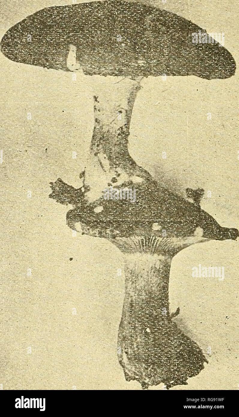 . Bulletin trimestriel de la Société mycologique de France. Mycology; Fungi; Fungi. 16 p. M. BIERS. campestris déformés, offert par un champignonniste des environs de Paris. Parmi les nombreuses monstruosités que nous y avons rencontrées, et sur lesquelles nous dirons un. FiG. 2. ClUocybe nelmluris. mot quelque jour, il nous a paru bon de retenir deux cas qui nous ont semblé devoir se prêter, tout de suite, à une expé- rimentation facile. Nous avons photographié d'abord les champignons tels qu'ils nous ont été remis. La superposition des deux cham-. Please note that these images ar - Stock Image