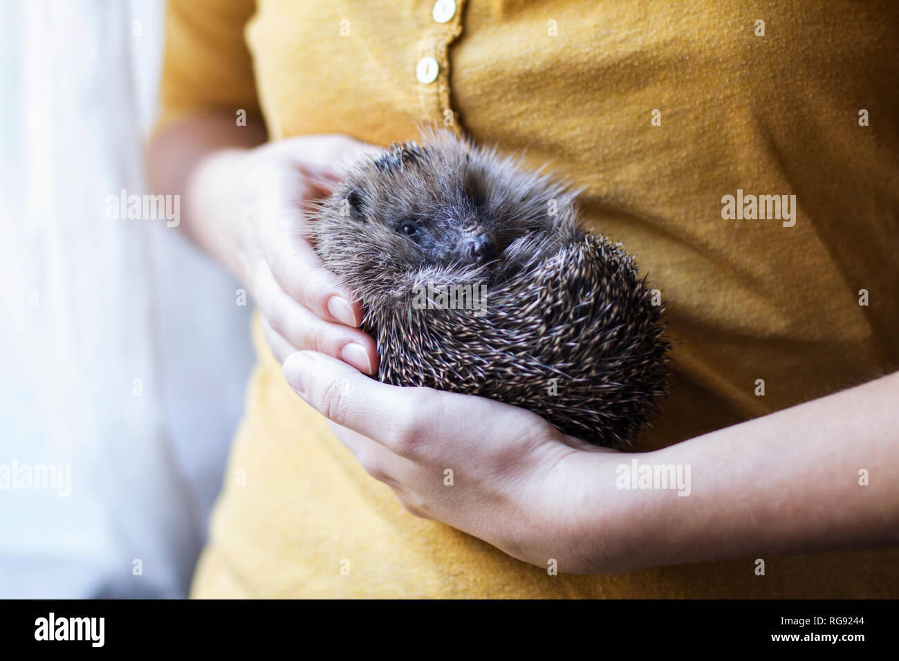 Woman's hands holding rolled up hedgehog - Stock Image