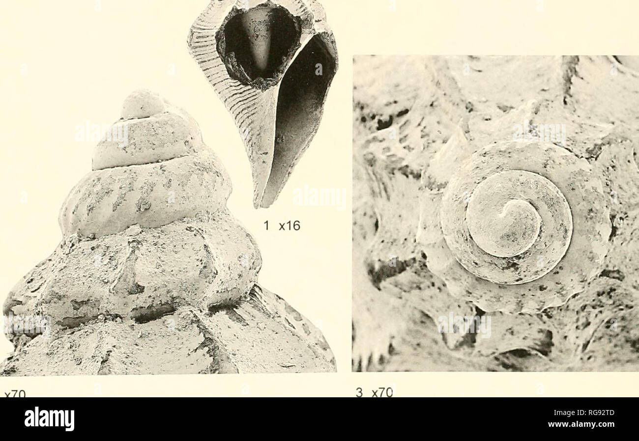 . Bulletins of American paleontology. 28 Bulletin 366 ^. V^ I 2 x70 Text-figure 24.—Lepicytluud dischtsu Jung. NMB H 18114. Panitype. NMB locality 18574: Melajo River, .south slope of the eastern part of the Northern Range, Trinidad. Melajo Clay Member of Springvale Formation. Height 5.2 mm. width 2.6 m. I, front view; 2. enlargement of apical area; 3, enlargement of apical view. 1 spec. NMB H 15293; Hgiired paiatype. NMB lo- cality 18574 (=PJ 285). 14 specs., NMB H 15290: paratypes. NMB locality 18574 (=PJ 285). 6 specs., NMB H 15286: paratypes. NMB locality 18923 (= Hutch 47). 2 specs., NMB  - Stock Image