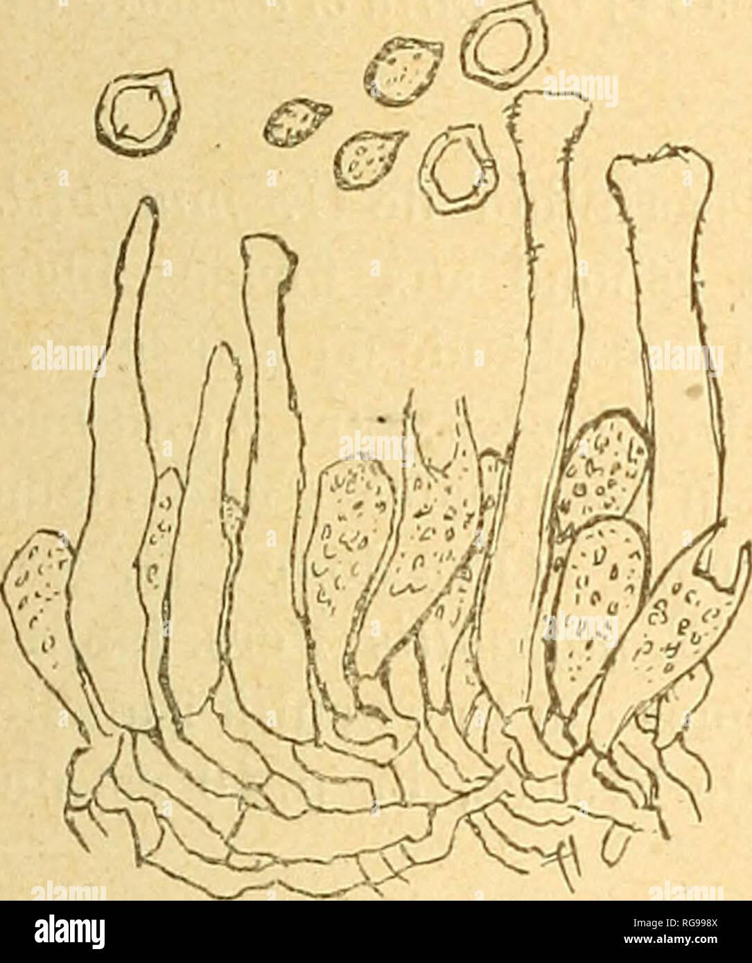 . Bulletin trimestriel de la Société mycologique de France. Mycology; Fungi; Fungi. SUR QUELQUES HYMENOMYCETES. 73 corticioïde : hyphes ampullacées jusqu'à 7-9 fz ; spores obovfQes, finement spinuleuses, 5-7 X 3,5-4,5 [x. â Le Cristella cristata Pat. est établi sur le Merisma cristatum Pers. qui a été rapporté aussi à Sebacina laciniata et à Thelephora spiciilosa ; mais les termes du Synopsis Â« pallidum, odore et sapore mucidum n, et surtout le mot Â« subcoriaceum » de Pers, M. E. I., p. 153, mon- trent qu'il s'agit bien du Sahacina laciniata. Peniophora abietis B. et G. var. pinastr Stock Photo