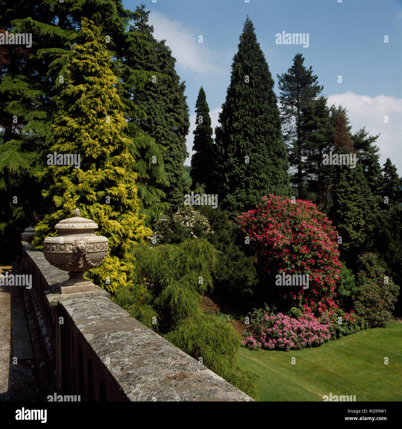 View from terrace with stone wall of tall conifers and rhododendron - Stock Image
