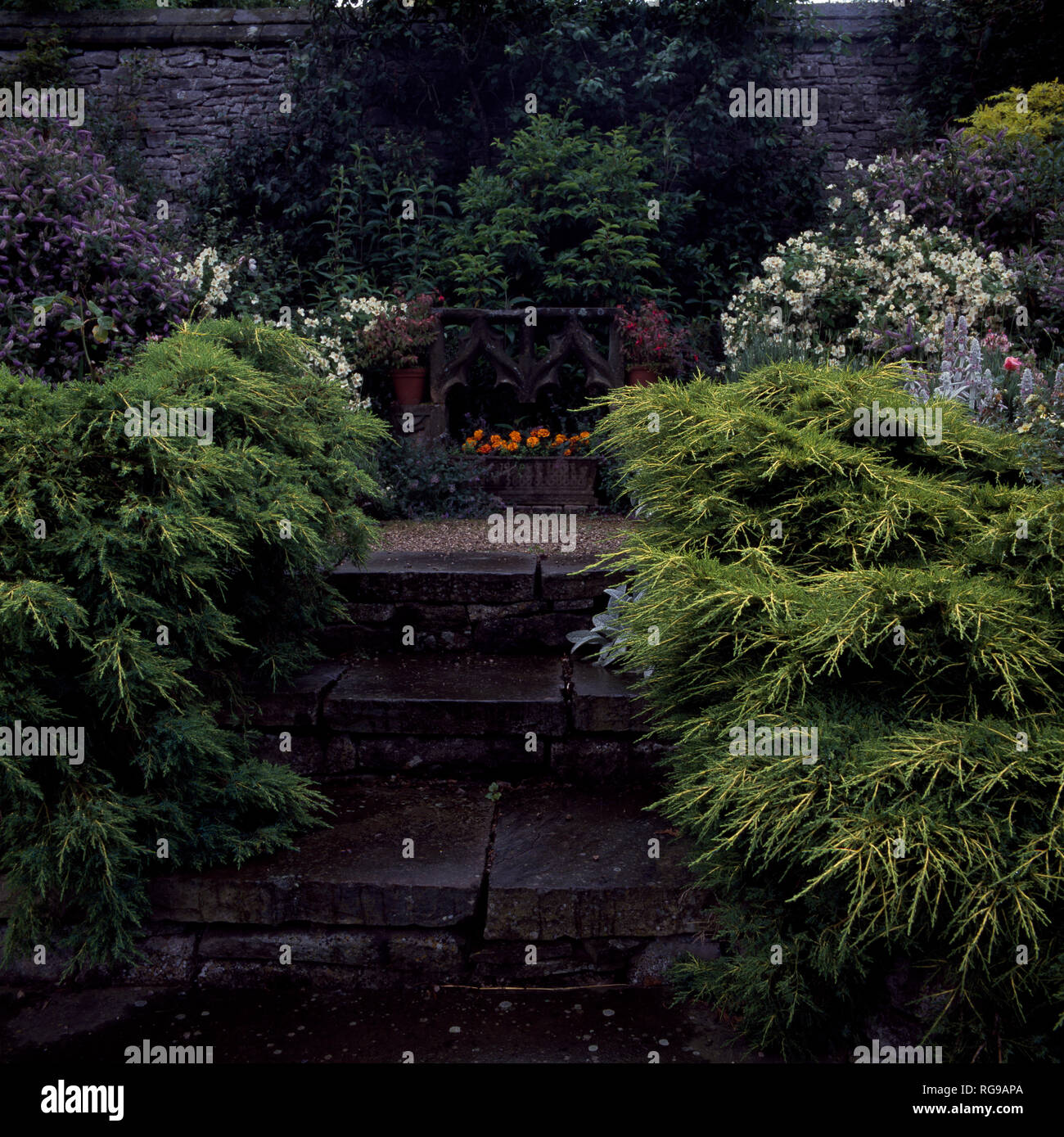 Dwarf conifers growing either side of stone steps - Stock Image