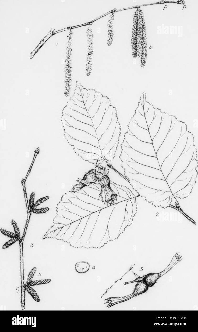 . Bulletin (Pennsylvania Department of Forestry), no. 11. Forests and forestry. 128 HAZELNUT Corylus americana, Walter GENUS DESCRIPTIONâThe Hazelnuts comprise about 7 known Bpecles, of which number about 3 are native to North America and 2 to Pennsylvania. The members of this genus are usually shrubs, rarely trees, found in the northern hemisphere. They do not produce wood of any commercial Importance, but their fruit, which Is a nut, Is very common In our markets. The nuts ate sold under the name of Hazelnuts or niberts. FOEM^A shrub or small tree reaching a height of 3-8 feet. Occurs in clu - Stock Image