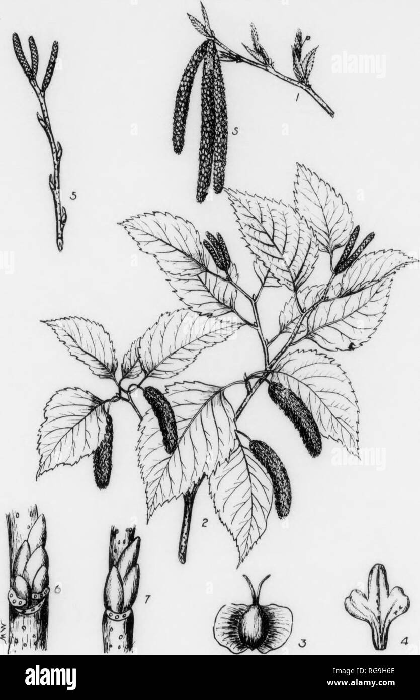 . Bulletin (Pennsylvania Department of Forestry), no. 11. Forests and forestry. 120 PAPER BIRCH Betula alba var. papyrifera, (Marshall) Spach FOEM-A large tree umially attaining a height of 60-76 ft. with a diameter of 1-2 ft.; but may reach a height of 80 ft, with a diameter of 8 feet. Trunk In open grown tree, 'hort and covered nearly to the base with Uteral, often awjendlng branchea; In dose atanda branchlesa below and bearing a narrow open head. BARK—On trunk and older branchea chalky to creamy white and peeling off In thin fllm- llke layers which are tinged with yellow and oov«red with ho - Stock Image