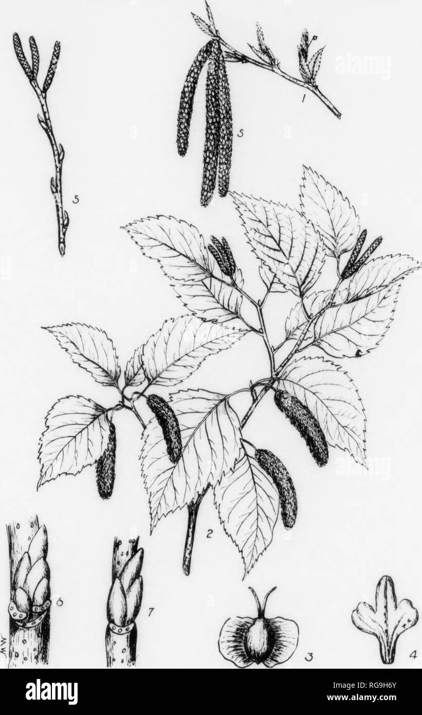 . Bulletin (Pennsylvania Department of Forestry), no. 11. Forests and forestry. 120 PAPER BIRCH Betula alba var. papyrifera, (Marshall) Spach FOEM—A large tree usually attaining a height of 60-76 ft. with a diameter of 1-2 ft.; but may reach a height of 80 ft. with a diameter of 3 feet. Trunk in open grown trees short and covered nearly to the base with lateral, often ascending branches; In close stands branchless below and bearing a narrow open head. BARK—On trqnk and older branches chalky to creamy white and peeling off In thin fllm- like layers which are tinged with yellow and covered with  - Stock Image