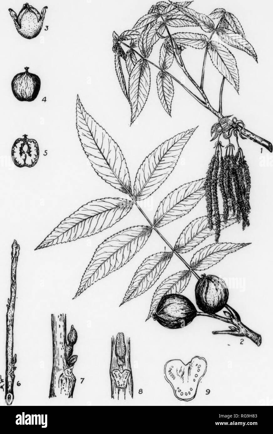 . Bulletin (Pennsylvania Department of Forestry), no. 11. Forests and forestry. i 116 BITTER NUT HICKORY Carya cordiformis, (Wangenheim) K. Koch FORM-A rather large tree usually 60-75 ft. high with a diameter ^'^V^lt'L^^oeT^C^o'^ Za^TZ^ inn f* with a diameter ot 21-3 feet. Trunk long, clean, with litUe taper, crown â¢tout and ascending, often with semi-pendulous branchlets. BARKâLieht gray rather thin, roughened by shallow Assures and narrow ridgeBj tight- litt^ng f^ does n^^el off or shag off In loose scales like the Shag-bark Hickory. See Fig. 112. TWIGS-Slender smooth glossy, often yellow-g - Stock Image