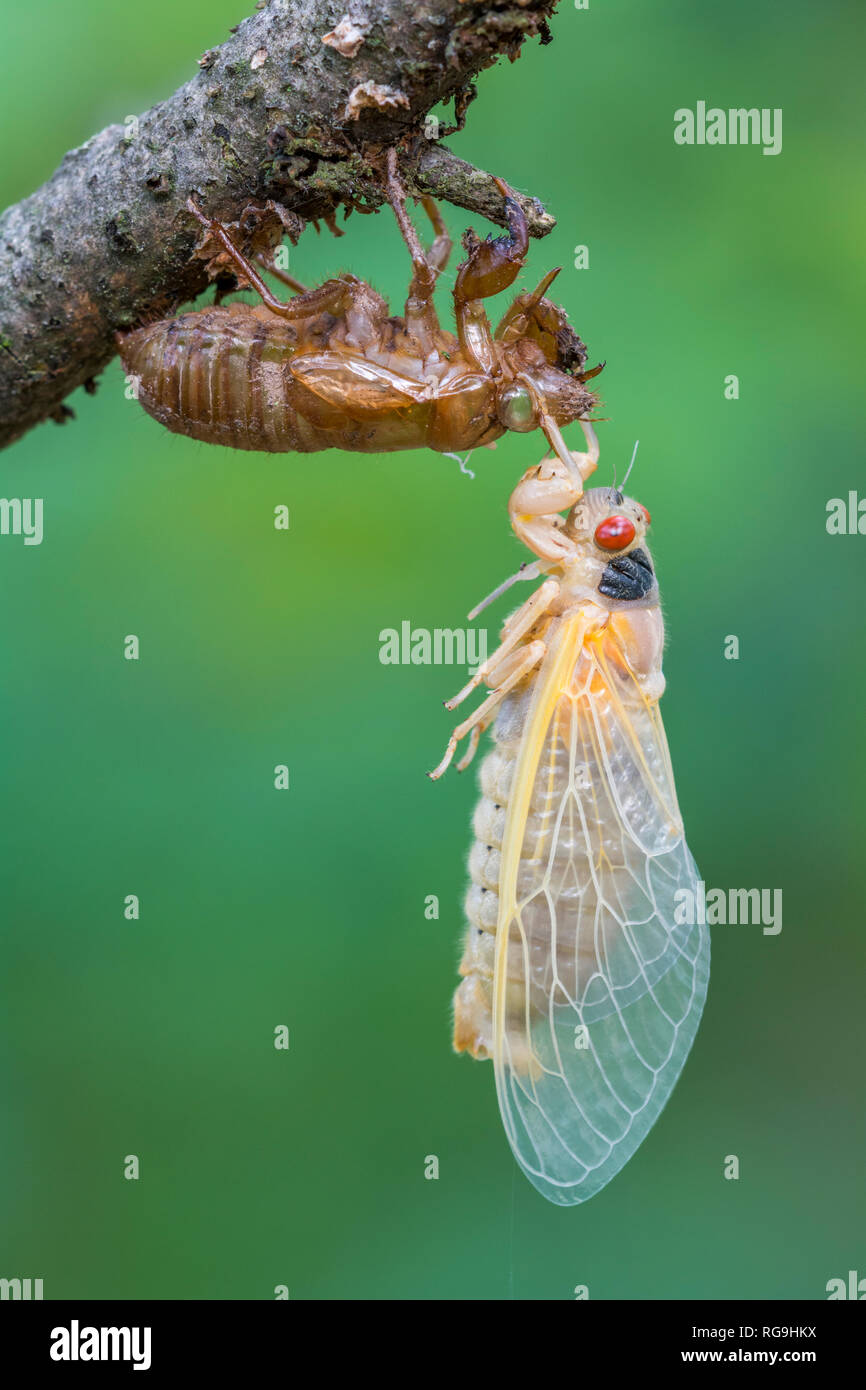Periodical Cicada (Magicicada septendecim) Freshly emerged adult hanging on pupal shell. Powell's Valley, Pennsylvania, June. - Stock Image