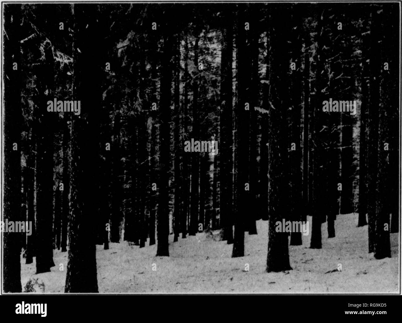 . Bulletin (Pennsylvania Department of Forestry), no. 11. Forests and forestry. 22 as transplantmg, and the resulting plants are tratvsplatvts. Trans- planting usually produces better plants because they are stockier and better prepared for the shock they will receive when planted in the forest. Trees like White Pine, Red Pine, and Norway Spruce are usually left in the nursery for two or three years before final planting, while other species like Ash, Walnut, and Oak are left in the nursery only one year. The seedlings planted in the forest are usually raised in nurseries but occasionally they - Stock Image