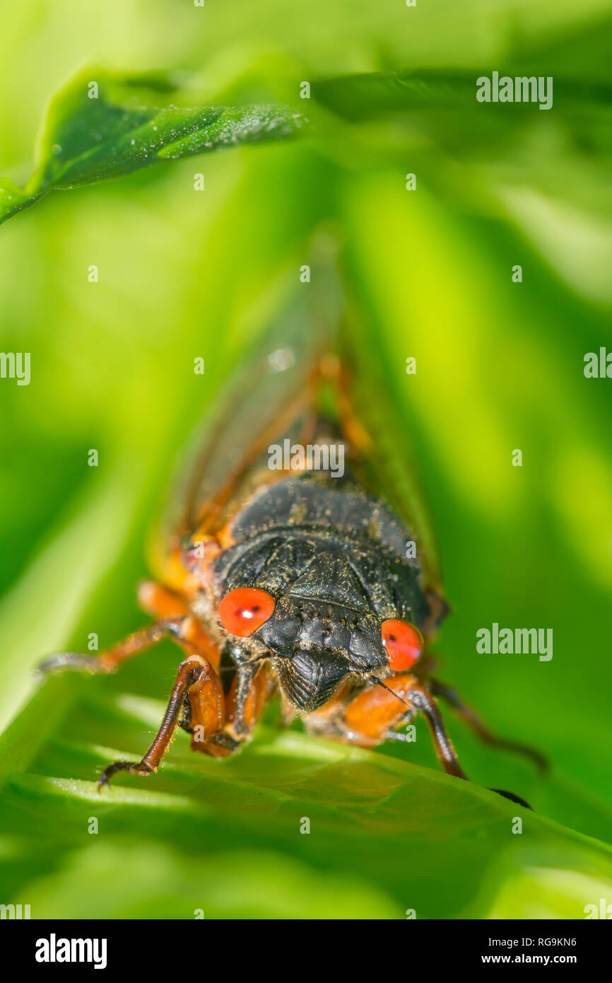 Periodical Cicada (Magicicada septendecim)  Head on view emphasizing the brilliant red eyes.  Powells Valley, Pennsylvania, June. - Stock Image
