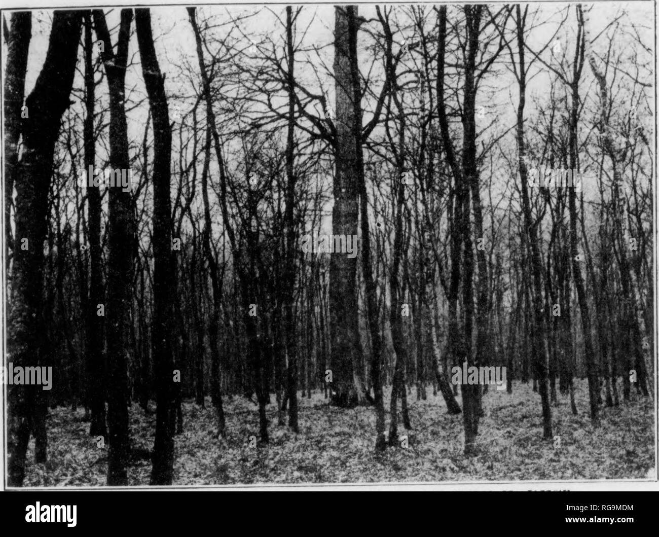 . Bulletin (Pennsylvania Department of Forestry), no. 11. Forests and forestry. Fig. 16. NATURAL REGENERATION OF THE FOREST. Norway Spruce after seeding cutting. Regeneration following regulated seed pro- duction . i m I. Fig. 17. NATURAL REGENERATION OF THE FORESl Large Oak seed tree with its olTspring.. Please note that these images are extracted from scanned page images that may have been digitally enhanced for readability - coloration and appearance of these illustrations may not perfectly resemble the original work.. Pennsylvania. Dept. of Forestry. Harrisburg, Pa. : The Department : WM.  - Stock Image
